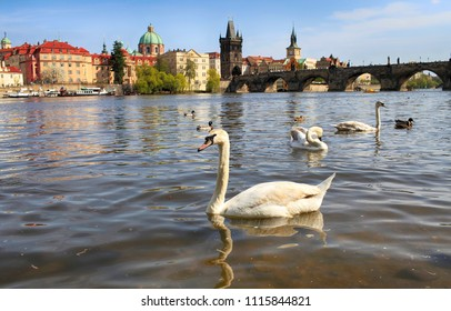 Beautiful white swan swims on the river in Prague