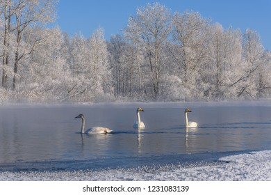 Beautiful white swans (Cygnus cygnus) swim in the lake on a frosty sunny winter day on the background of the white trees in the hoarfrost