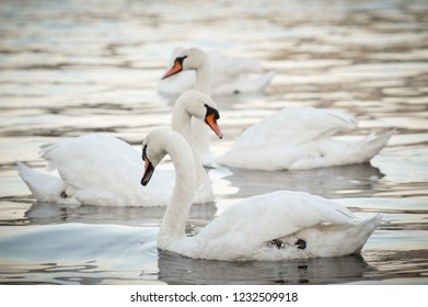 Beautiful white swans float on the river