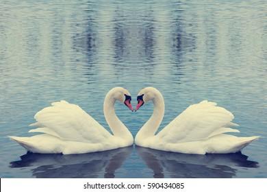 Beautiful white swans in heart shape on water