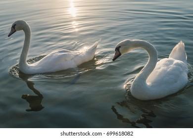 Beautiful white swans on the lake at sunset