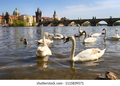 Beautiful white swans on the river in Prague