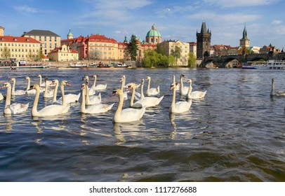 Beautiful white swans on the Vltava river in Prague