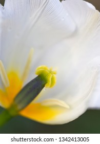 beautiful white tender tulip flower with green and yellow pistil