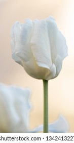 beautiful white tender tulip flower on a light background of the morning sky
