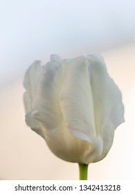 beautiful white tender tulip on a light background of the morning sky