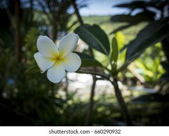 Beautiful white thai flower/Plumeria thai flower