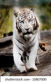 Beautiful white tiger walking towards the camera