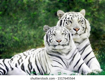 Beautiful White Tigers Couple In Forest