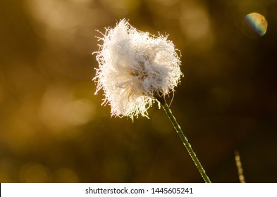 beautiful white tufts marsh landscape during the early summer. Eriophorum vaginatum
