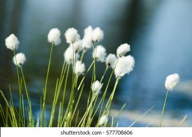 beautiful white tufts marsh landscape during the early summer. Eriophorum vaginatum