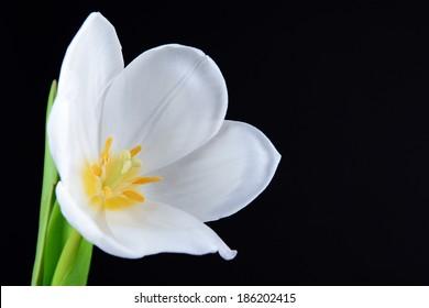 Beautiful white tulip isolated on black