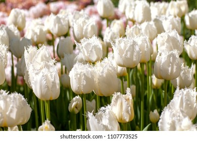 Beautiful white tulips in closeup on sunny day