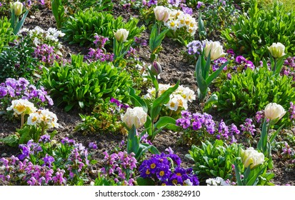 Beautiful white tulips and Viola tricolor flowers in the spring time. Nature many-colored background.