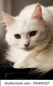 Beautiful white Turkish Angora
