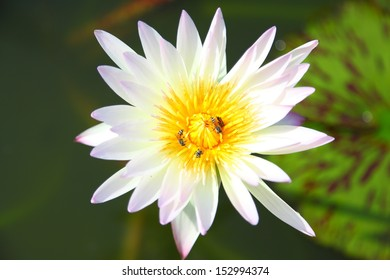 Beautiful white water lilly flower