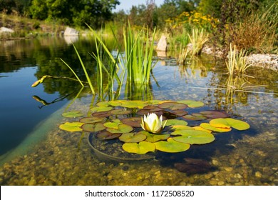 Beautiful white water lily bloom detail, plants used at natural swimming pool for filtering water without chemicals, relaxation and meditation concept