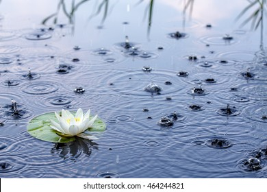 Beautiful white water lily in a clear lake in the rain