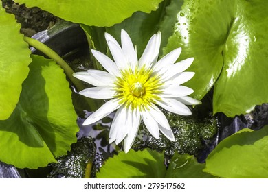 Beautiful white water lily flower and green leaves