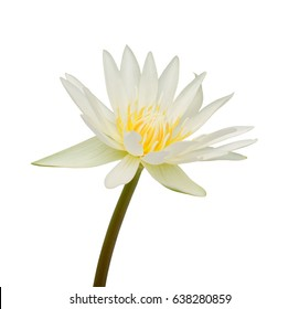 beautiful white Water lily flower isolated on white background