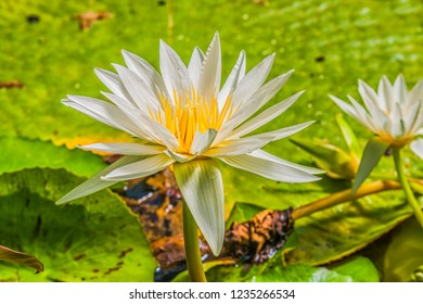 Beautiful white water lily with green leaves
