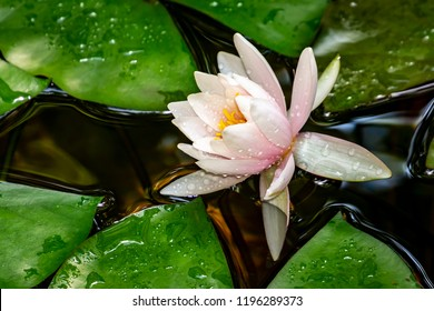 Beautiful white water lily Marliacea Rosea in the right part of the pond on the background of dark leaves. The nymphaea and the leaves of the water lily are covered with water drops.