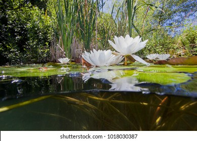 Beautiful white Water lily (nuphar lutea) in the clear pound. Underwater shot in the lake. Nature habitat. Underwater landscape.A stack of water lilys seen from underwater.