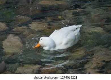 Beautiful white wild duck (Anas, Anseriformes, Mallard) waterbird in the waters of the lake with rocks outdoor. Kleptuza lake, Velingrad, Bulgaria. Natural scene, wildlife.