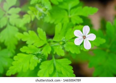Beautiful white wild forest flower. Geranium robertianum, or herb-Robert, red robin, death come quickly, storksbill, stinking Bob, squinter-pip, crow's foot, Roberts geranium