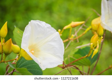 Beautiful white wild morning glory flower (Ipomoea carnea) on tree. Ipomoea carnea, the white morning glory, is a species of morning glory. This flowering plant has heart-shaped leaves.