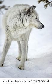 Beautiful white wolf in Yellowstone.CR2