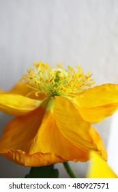 Beautiful white and yellow poppy flowers