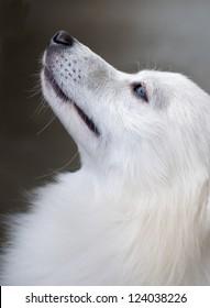 beautiful white young dog watching up