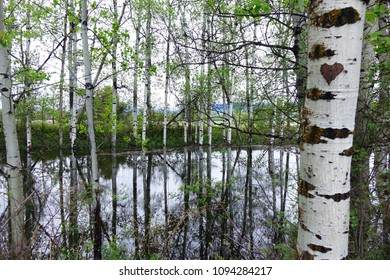 Beautiful, white-barked aspen trees are reflected in a pond at Clay-Flat near Missoula, Montana.