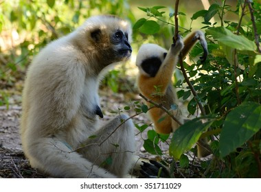 beautiful White-cheeked Gibbon (Hylobates concolor) with her baby