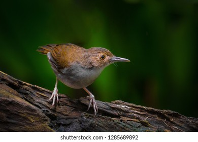 "Beautiful White-chested Babbler (Trichastoma rostratum) as known as ""Rimba Dada Putih"" perch on log at nature background. Noise visible due to high ISO used."