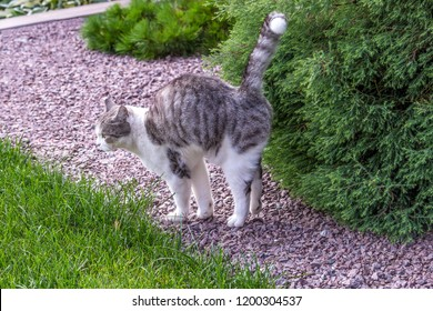 Beautiful white-gray tabby cat marking its territory in the garden and spraying pee on thuja.Damage and diseases of conifer trees caused by the urine of animals.
