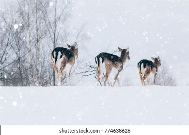 Beautiful white-tailed deer in snowy winter.