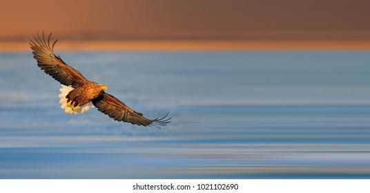 Beautiful white-tailed Eagle
