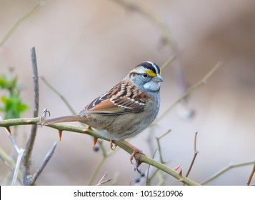 A beautiful White-throated Sparrow (Zonotrichia albicollis) sits on a briar