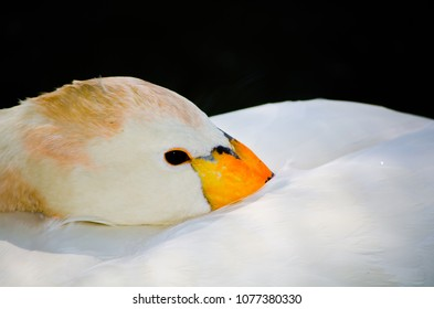 Beautiful Whooper swan (Cygnus cygnus) resting on its back with eye opening in close up, Isolated on black background.