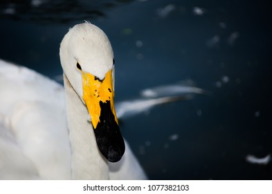Beautiful Whooper swan (Cygnus cygnus) showing head and long neck in close up.