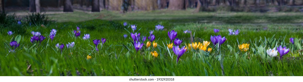 Beautiful Wide Angle Nature Spring Landscape, soft focus. Nature scene with blooming purple and yellow crocus flowers growing in meadow. Panoramic scenic spring Wallpaper