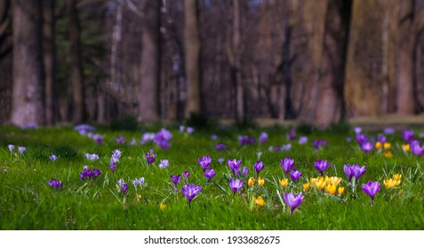 Beautiful Wide Angle Nature Spring Landscape, soft focus. Nature scene with blooming purple and yellow crocus flowers growing in city park. Panoramic scenic spring Wallpaper or Web banner