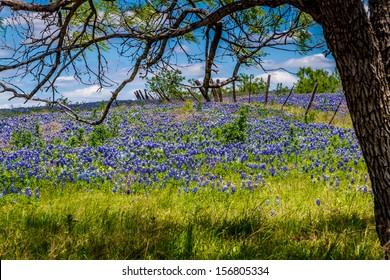 A Beautiful Wide Angle View of a Texas Field Blanketed with the Famous Texas Bluebonnet (Lupinus texensis) Wildflowers Under the Shade of a Tree with a Country Fence in Background.