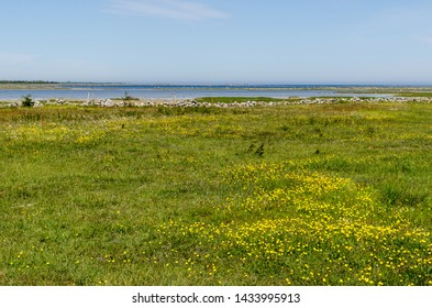 Beautiful wide open grassland with yellow flowers by the coast of the Baltic Sea in a nature reserve at the swedish island Oland