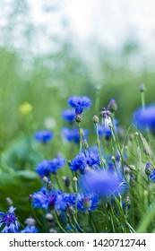 Beautiful wild asteraceae in a field in Grevenbicht, Limburg, The Netherlands