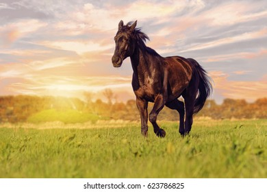 Beautiful wild black stallion galloping freely outdoors in a meadow at dusk sky at sunset and in the spring