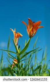 beautiful wild blooming orange lily flowers growing in green grass on blue sky background. In Yakutia (Siberia), Lilium dahuricum, Lilium pensylvanicum called Saranka. It grows in a wild and a garden