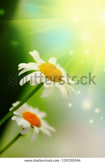 Beautiful wild chamomiles, outdoors